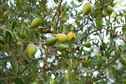 argan-olie-frugter-træ